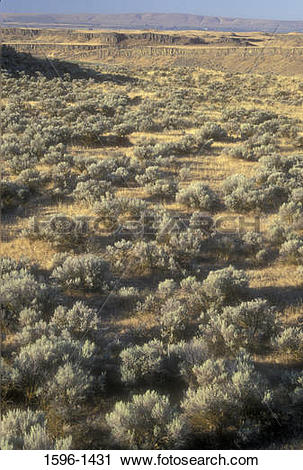 Stock Photography of Sagebrush plants in a field, Frog Lake Trail.