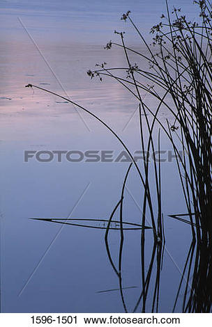 Stock Photography of Cattail plants in water, Burbank Slough.