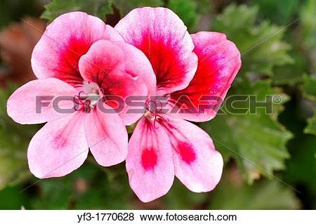Pictures of Regal geranium Pelargonium domesticum, Pelargonium x.