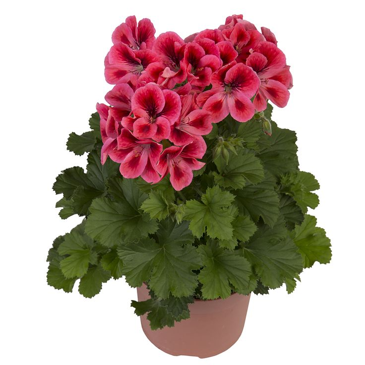 1000+ images about geraniums on Pinterest.