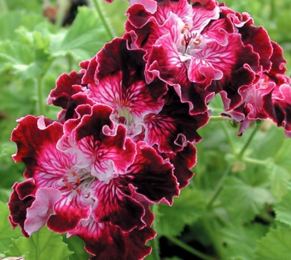 17 Best images about geraniums on Pinterest.
