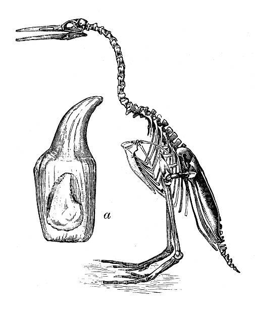 Skeleton Of Hesperornis Regalis Clip Art, Vector Images.