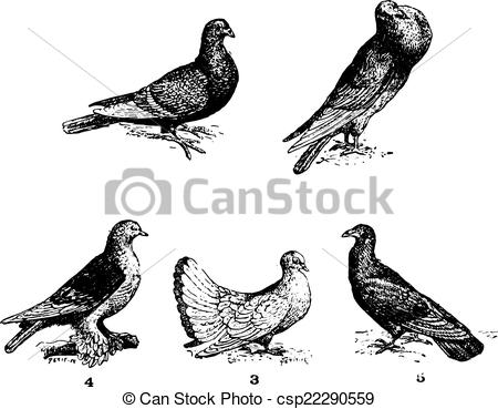 Clipart Vector of Pigeons, vintage engraving..