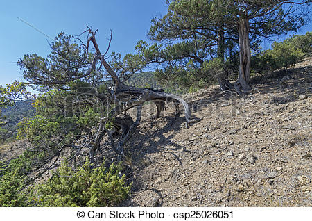 Stock Images of Relic juniper in the Crimean Mountains.
