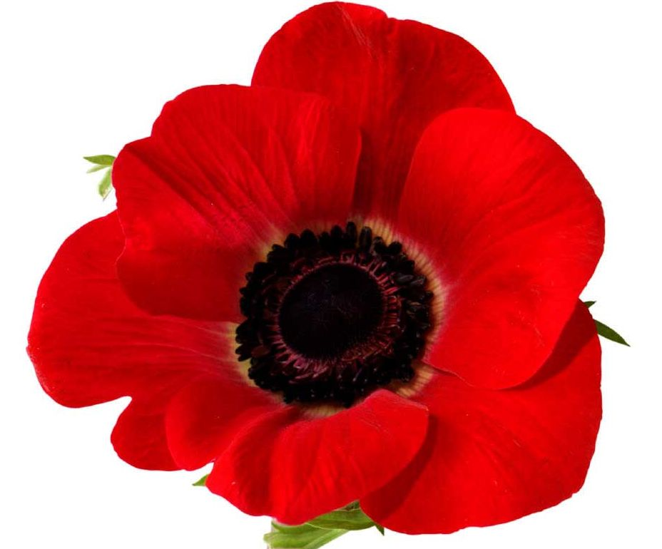Poppies Clipart.