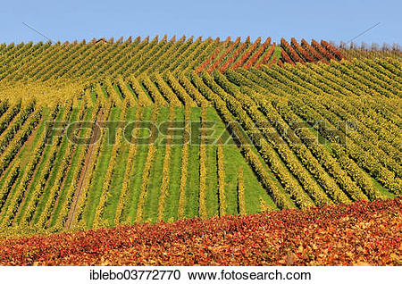 "Stock Photography of ""Vineyard in autumn, Trollinger, near."