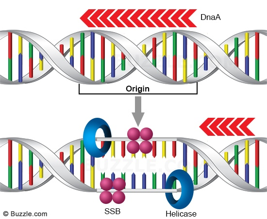 gene replication.