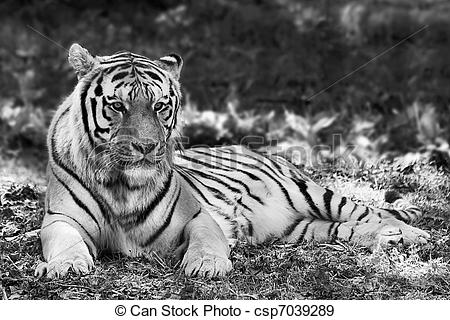 Stock Photographs of Tiger in repose csp7039289.