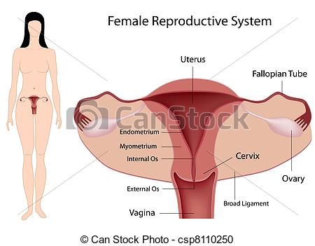 Vector Clipart of Female Reproductive System, eps8 csp8110250.