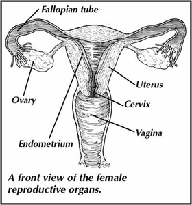 Free clipart reproductive system.
