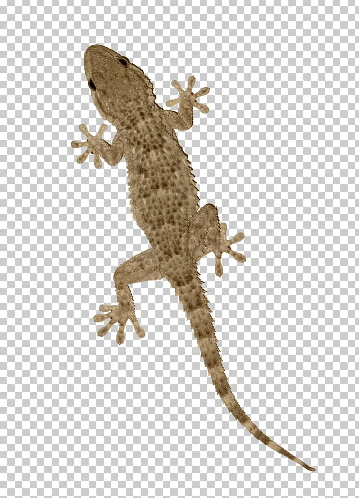 Agama Tokay Gecko Lizard Reptile PNG, Clipart, Agama.