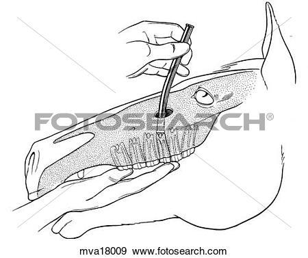 Stock Illustration of Repulsion of cheek teeth, equine mva18009.