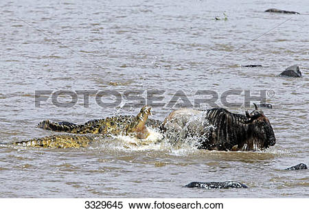 Stock Image of Crocodiles (Crocodilus niloticus) attacking.