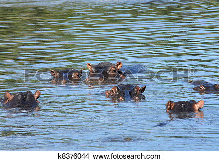 Stock Photo of Family of hippopotamuses swimming in shallow water.