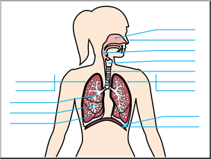 Clip Art: Human Anatomy: Respiratory System Color Unlabeled.