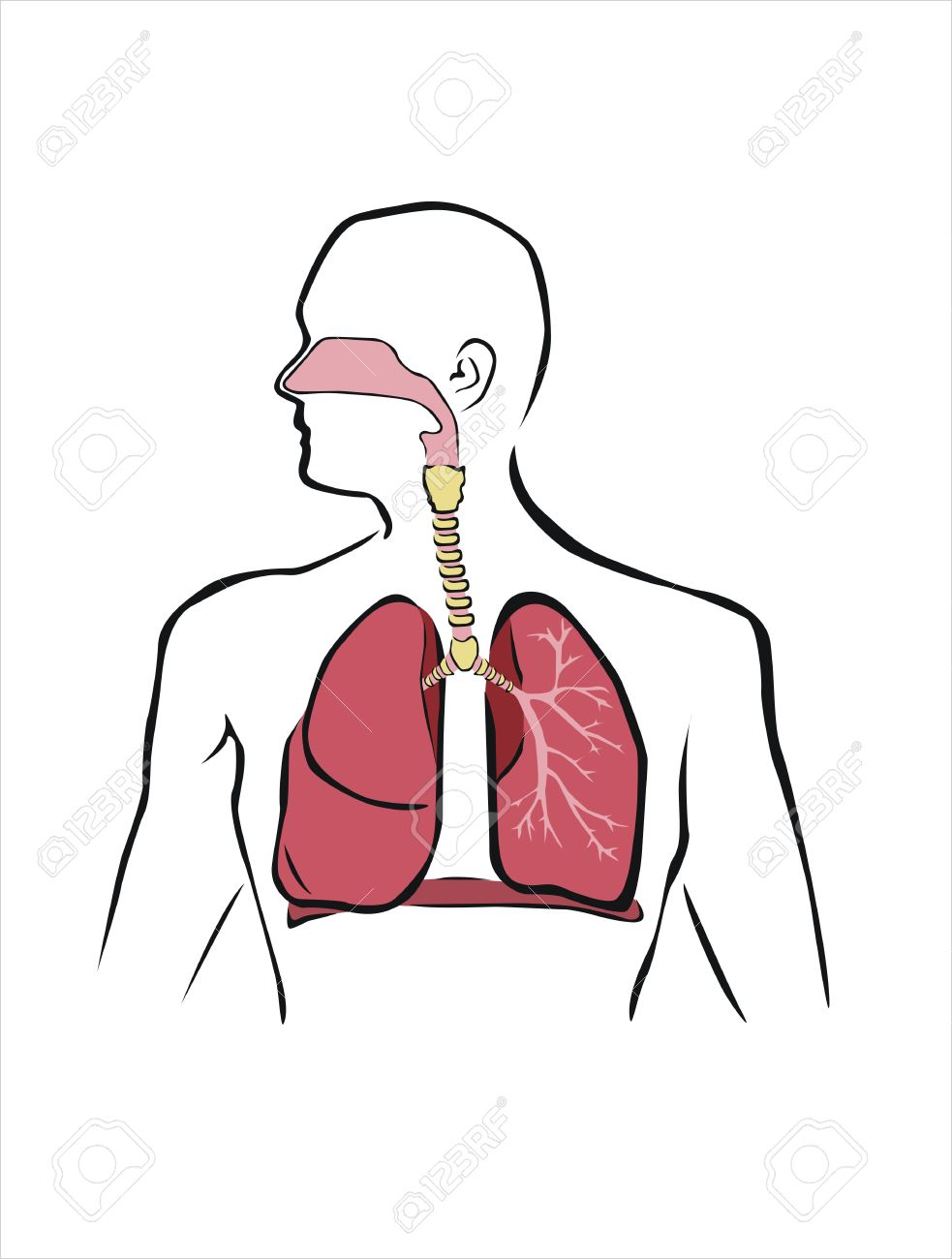 Respiratory system clipart 2 » Clipart Station.