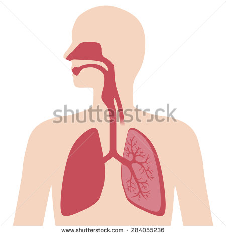 Anatomy Of The Lungs And Respiratory System.