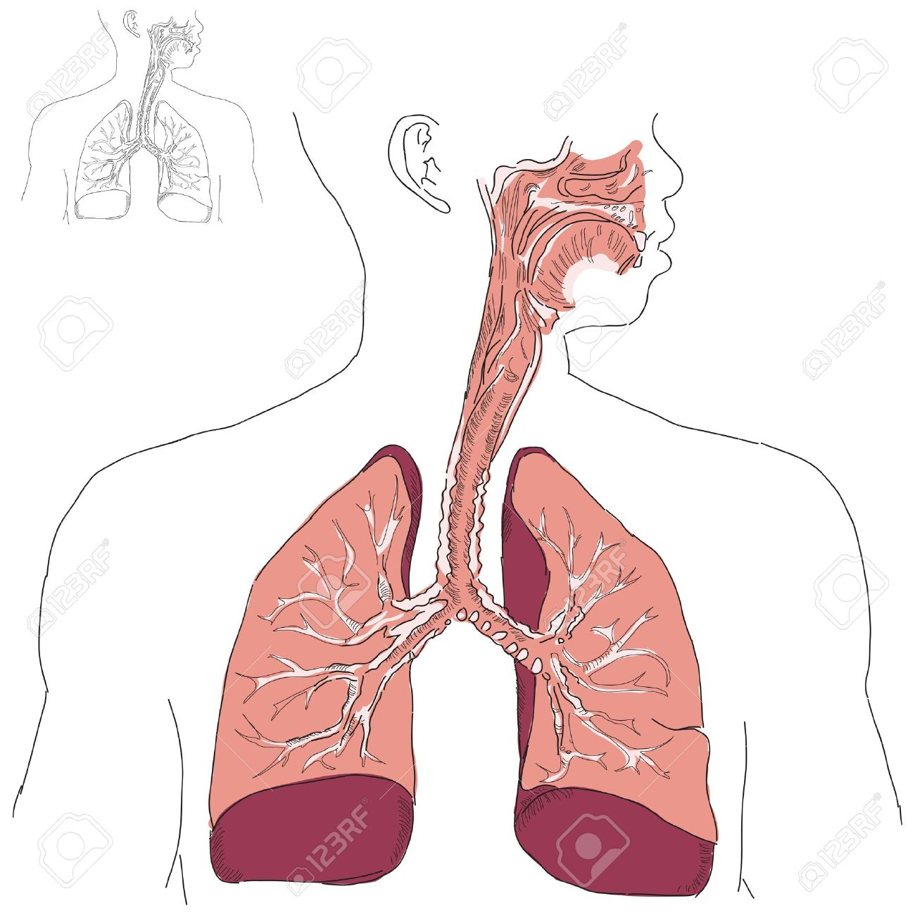 Respiratory System And Actinomycosis In Humans. Vector.