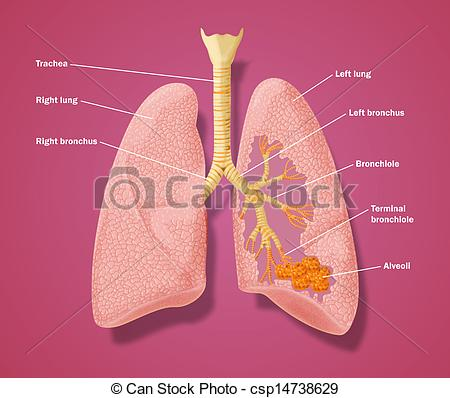 Respiratory tract Stock Illustration Images. 619 Respiratory tract.