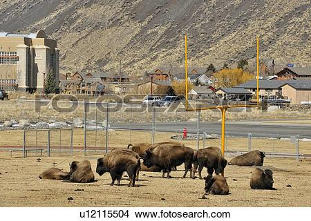 Stock Photo of American Bison (Bison bison) Resting on a high.