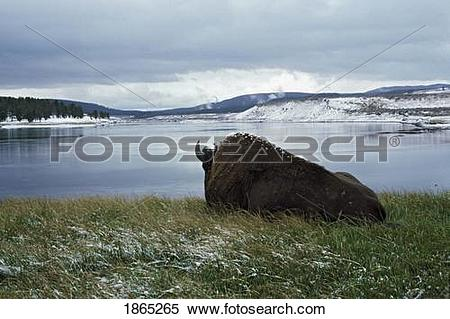 Stock Image of Bison resting by Yellowstone River with snow on its.