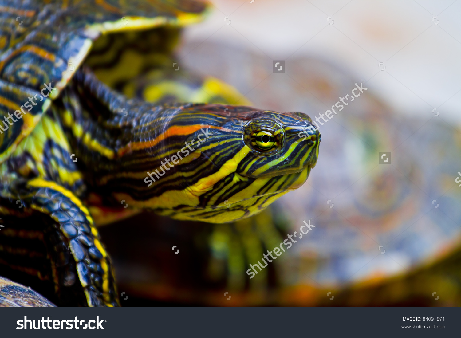 Close Up Of A Red Eared Mexican Turtle As It Clambers Over Another.