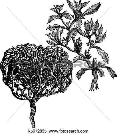 Clipart of Anastatica hierochuntica, tumbleweed or resurrection.