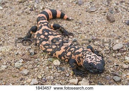 Picture of A gila monster (Heloderma suspectum suspectum) crawling.