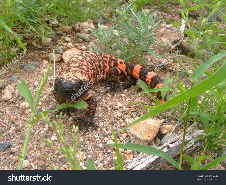 A Venomous Lizard.