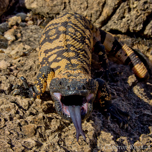 1000+ images about Gila Monster on Pinterest.