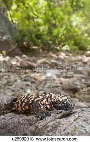 Pictures of Reticulate Gila Monster, Heloderma suspectum, Arizona.