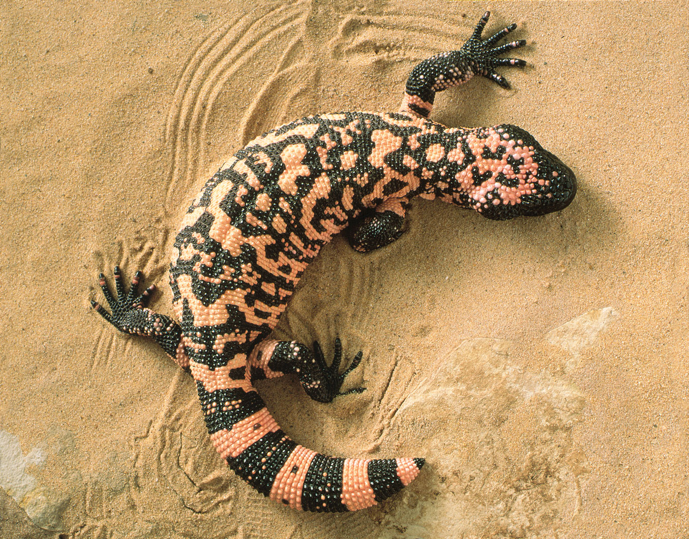 Gila Monster.