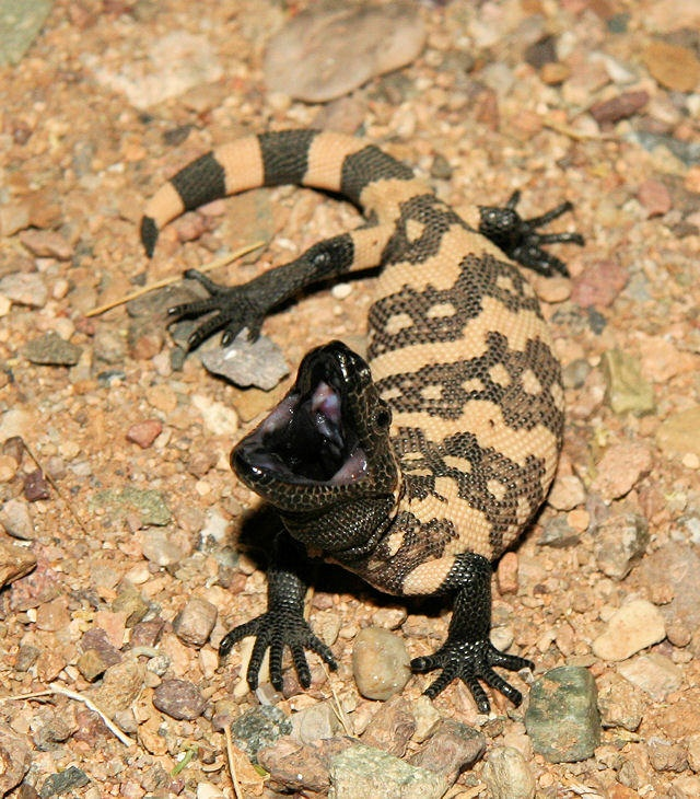 1000+ ideas about Gila Monster on Pinterest.