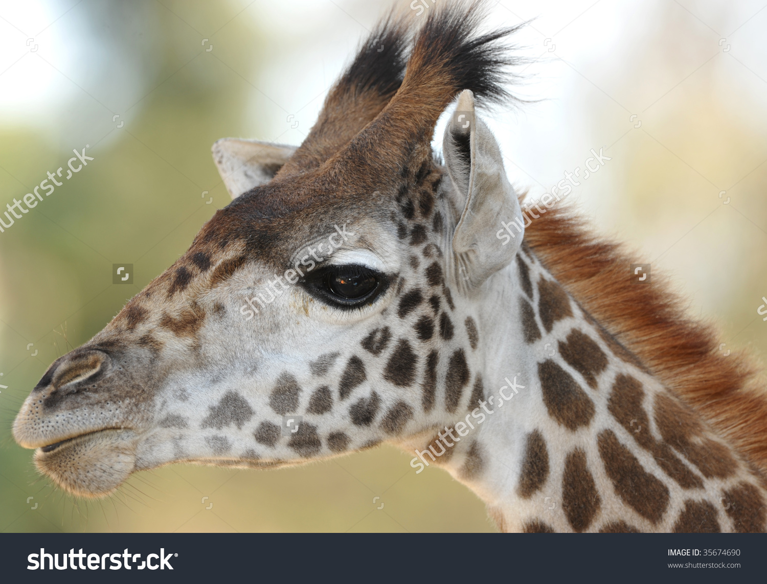 Baby Reticulated Giraffe Close Up Full Frame Head, Namibia, Africa.