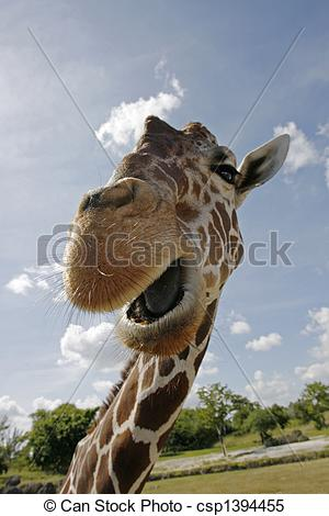 Stock Images of Reticulated Giraffe up close to camera with mouth.