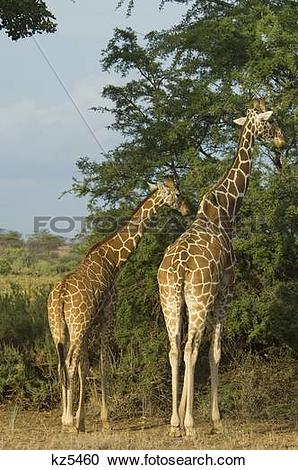 Stock Photography of two reticulated giraffe rear view from behind.
