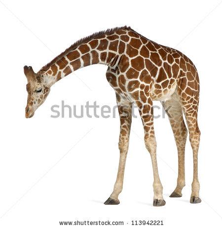 Giraffe Stock Photos, Royalty.