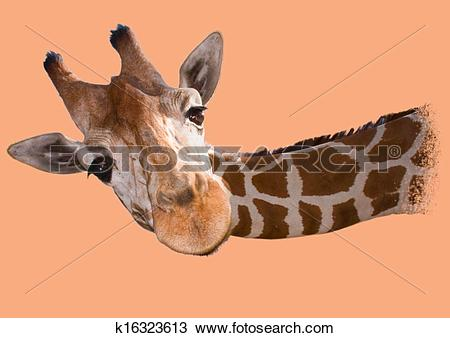 Drawing of Head of a reticulated giraffe k16323613.