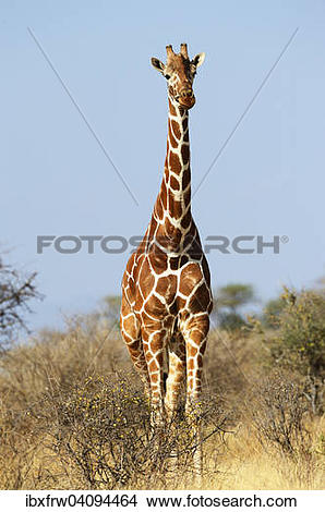 Stock Photo of Reticulated giraffe, Somali Giraffe (Giraffa.