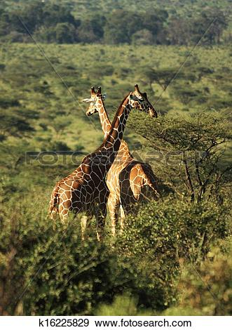 Stock Photograph of Two Reticulated giraffe k16225829.