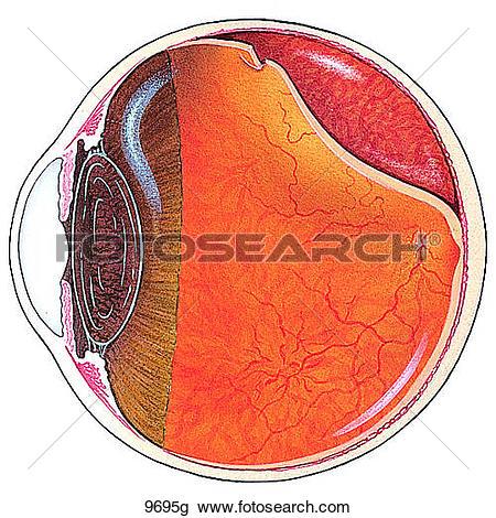 Clipart of Inner layer of the retina. ks08d.