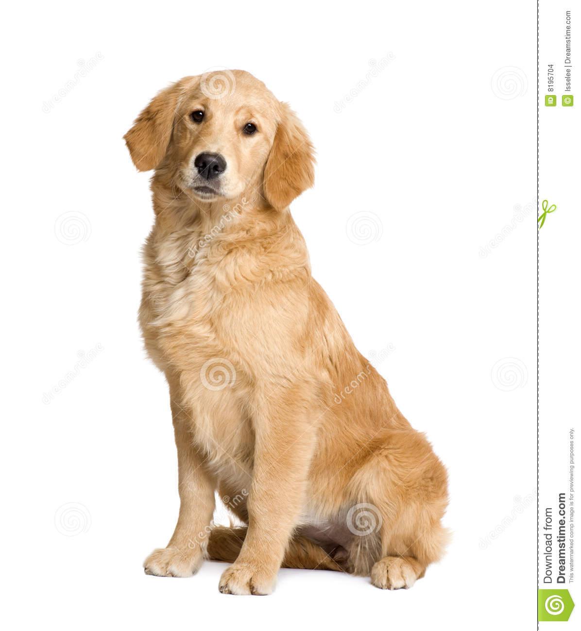 Golden retriever puppy clipart.