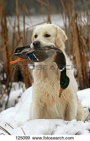 Stock Photograph of Golden Retriever retrieving canard 125099.