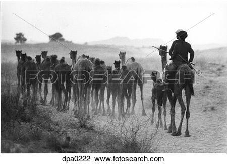 Stock Photo of Group of camels on Thar Desert returning home.