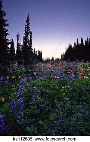 Stock Image of Wildflowers (yellow Arnicas, blue Lupine, red.