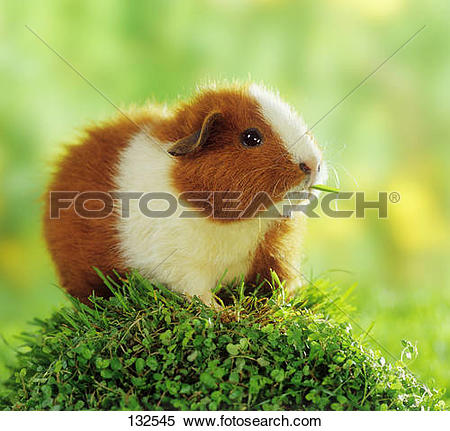 Stock Image of Rex guinea pig on plant 132545.