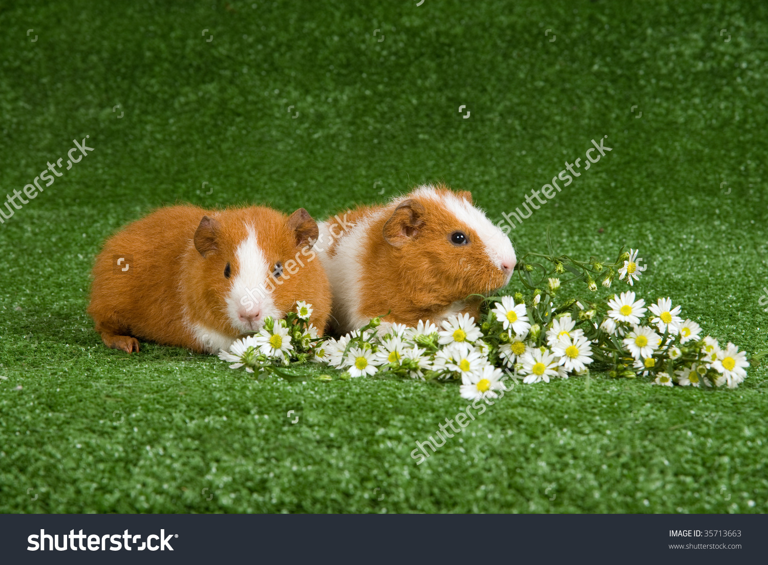 2 Cute Rex Guinea Pigs On Lawn, With White Daisies Flowers Stock.