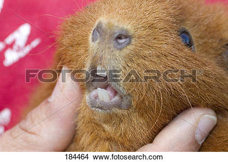 Stock Photo of Red Rex Guinea Pig, Cavie in hand, showing incisors.