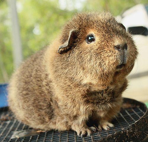 1000+ images about Cochon d'Inde Guinea pig on Pinterest.