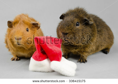 Pet Xmas Hat, Short Haired Peruvian And Rex Guinea Pig Stock Photo.
